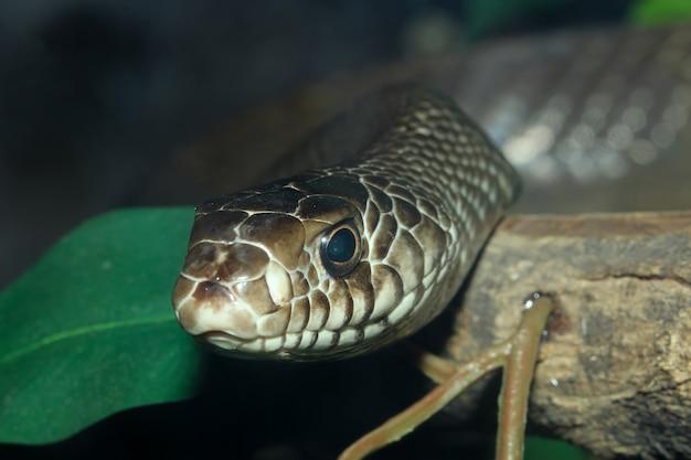 Chiuda sul serpente di ratto capo sull'albero del bastone alla thailand