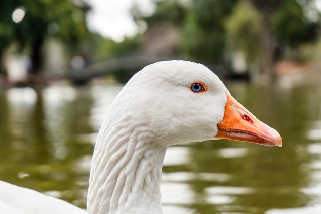 Primo piano della testa di un'oca bianca. animale da fattoria.