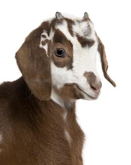 Primo piano del volto di capretto rove capretto, 3 settimane di età,