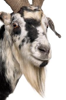Primo piano del volto di capra rove, in piedi