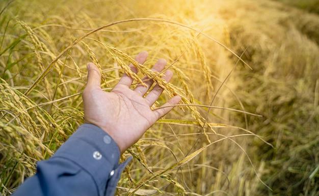 Primo piano tieni la pianta di riso per mano e il seme di riso