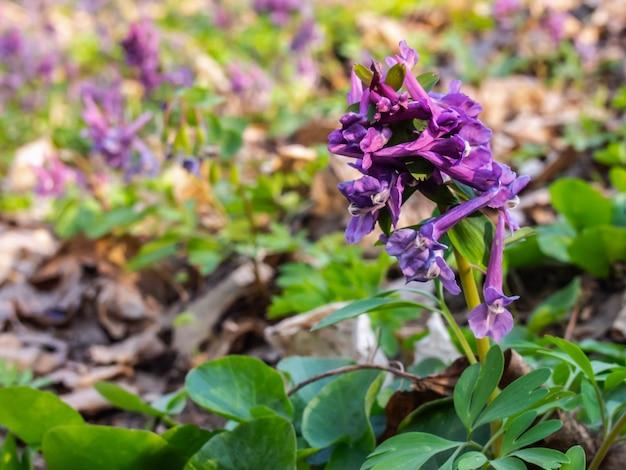 Primo piano del fiore di hollowroot nella foresta.