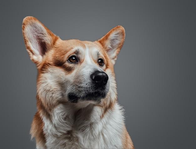 Chiuda sul ritratto orizzontale del cane affamato con l'espressione patetica sul fronte che cerca su fondo grigio in studio.