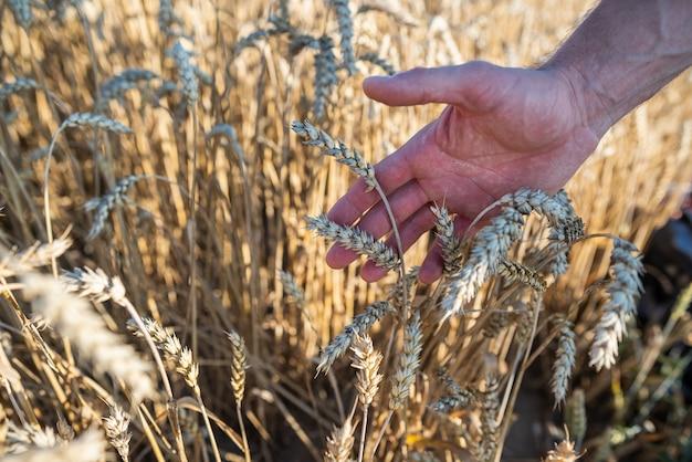 Primo piano sulla mano umana e sul campo di grano con le orecchie