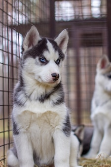 Primo piano dei cuccioli di cane husky che si trovano in una gabbia e guardano. un cane solitario in una gabbia in un rifugio per animali