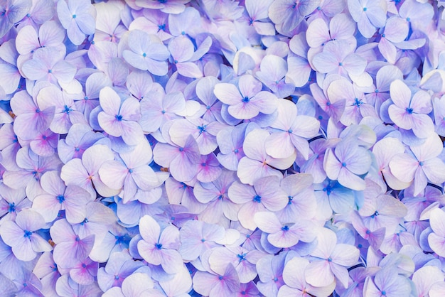 Close up di ortensie fiore, mattina sbocciano i fiori