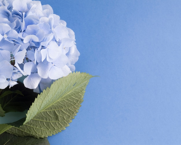 Il primo piano delle ortensie fiorisce su fondo blu in bianco