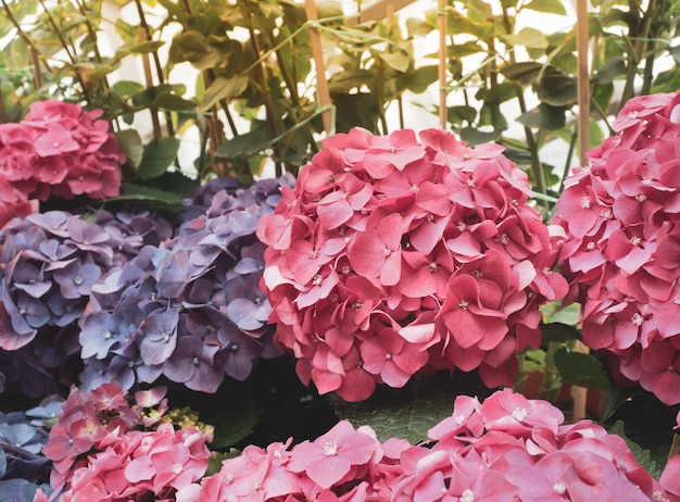 Chiuda in su dei fiori di hydrengea macophylla.