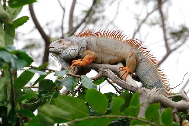 Chiuda sull'iguana sull'albero in natura alla tailandia