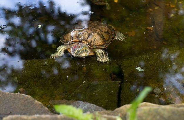 Immagine del primo piano di una tartaruga in acqua. bella tartaruga