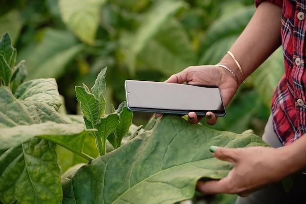 Immagini ravvicinate di agricoltori, piantine, tabacco, utilizzo di laptop, ispezione della qualità delle foglie di tabacco, concetti tecnologici.