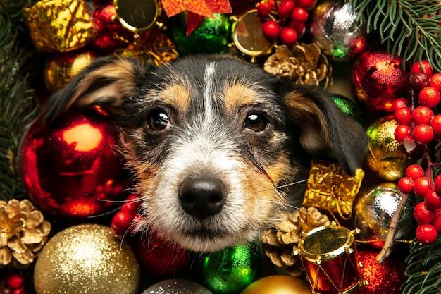Primo piano jack russell terrier cagnolino nella decorazione di natale che saluta il nuovo anno