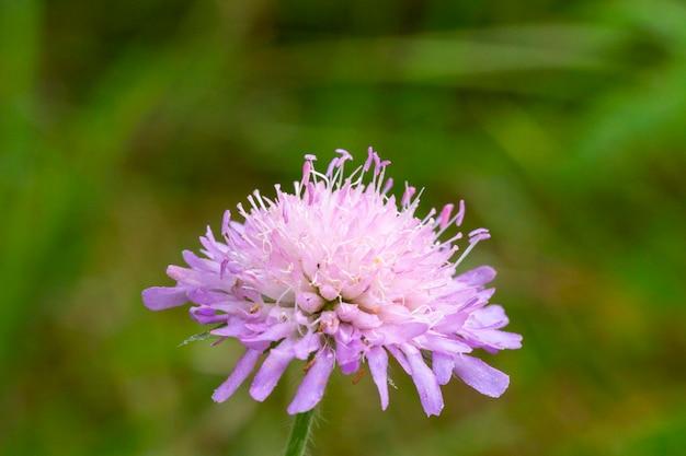 Primo piano di un fiore di knautia macedonica. i nomi comuni di questi fiori sono una variante del fiore della vedova.