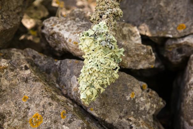 Primo piano di licheni su un ramo di albero