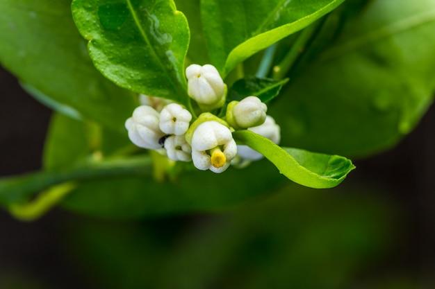 Ravvicinata di boccioli di fiori di tiglio bianco circondato da foglie verdi