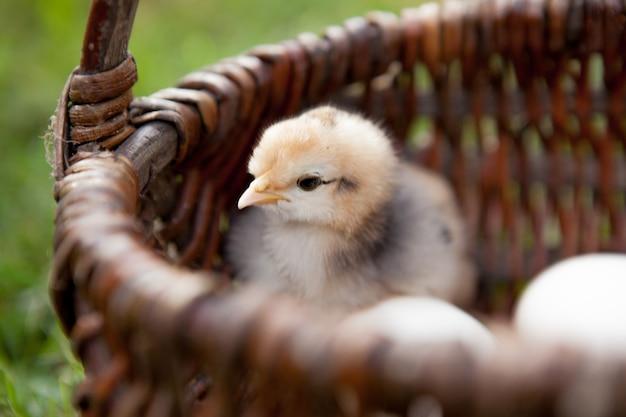 Primo piano piccolo pollo con le uova in un cestino marrone.