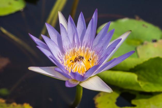 Close up lotus e ape