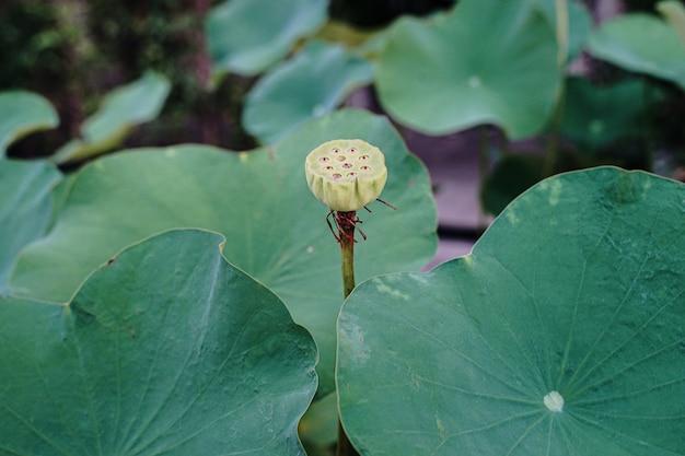 Primo piano del fiore di loto sullo stagno ad alba. per migliaia di anni, il fiore di loto è stato ammirato come un simbolo sacro.