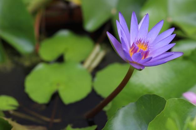 Il colore viola del fiore di loto da vicino è così bello nel giardino in tailandia