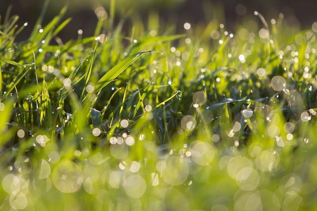 Chiuda sulla macro immagine astratta di illuminata dalle lame di erba verde chiaro pulite fresche luminose luminose del sole che crescono sul fondo vago del bokeh il giorno soleggiato dell'estate o della primavera. bellezza del concetto di ambiente naturale.