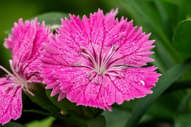 Colpo a macroistruzione del primo piano del fiore di dianthus magenta rosa variopinto