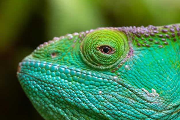 Un primo piano, ripresa macro di un camaleonte verde