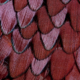 Chiusura del maschio di fagiano comune europeo, phasianus colchicus, piume