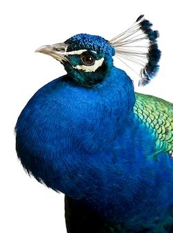 Primo piano del pavone indiano maschio
