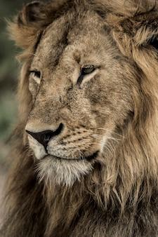 Primo piano di un leone maschio nel parco nazionale del serengeti