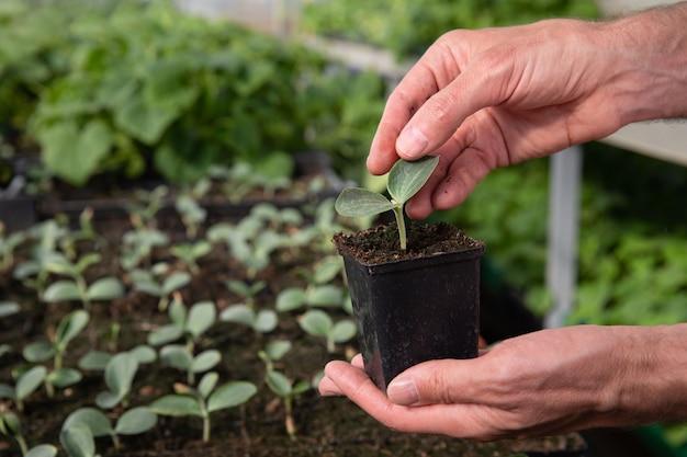 Chiuda in su delle mani del coltivatore dell'uomo che tiene una pentola con piantine di cetriolo in serra