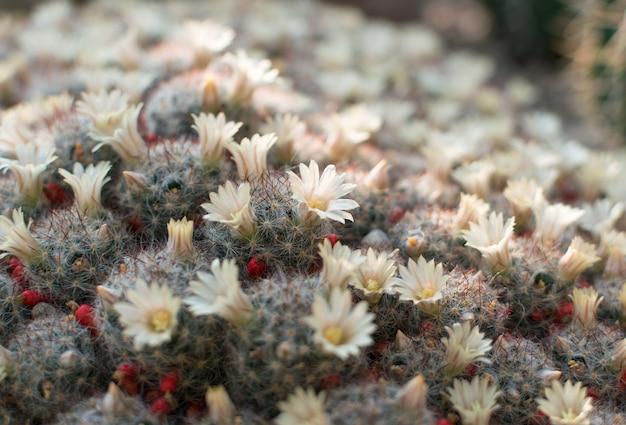 Primo piano su molti cactus in fiore, cactacee o cactus