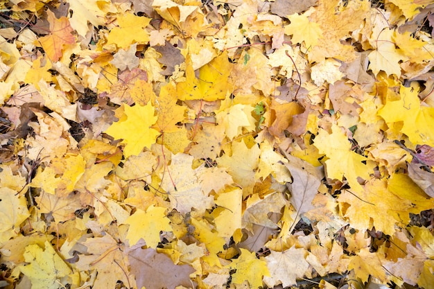 Chiuda su di molte foglie gialle cadute che riguardano il terreno nel parco di autunno.
