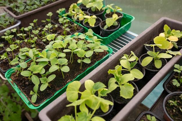 Primo piano di molti tipi di piantine di ortaggi bio nella serra, concetto di agricoltura