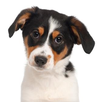 Primo piano di un cucciolo di razza mista, 2 mesi e mezzo,