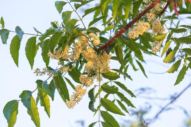 Primo piano di fiori di neem o fiori di azadirachta indica. un ramo di fiori di neem infiorescenza