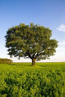 Primo piano sulla quercia in un campo
