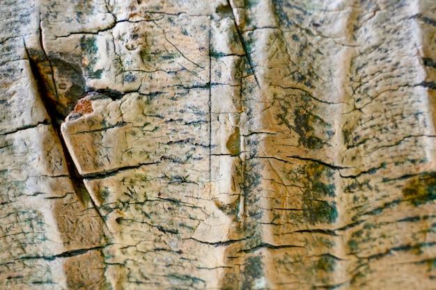 Chiudere una vecchia corteccia di albero. struttura in legno di struttura in legno incrinato
