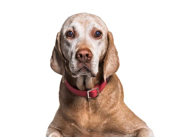 Primo piano su un vecchio cane di vizsla, isolato