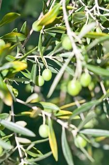 Chiuda in su delle olive e dei rami di olivo