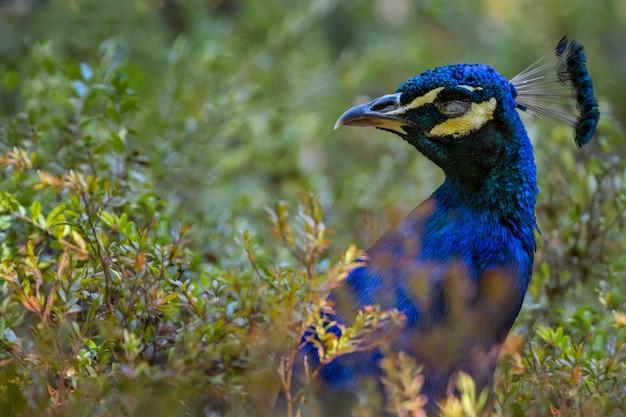 Chiuda in su del pavone in cespugli verdi, uccelli della fauna selvatica