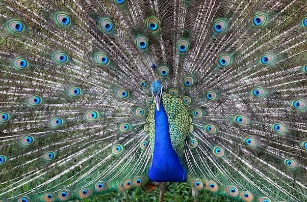 Primo piano di un pavone