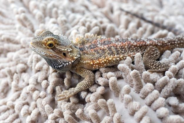 Close up foto del drago barbuto, animale domestico drago barbuto