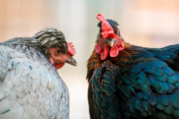 Foto ravvicinata di un gallo domestico o di un pollo allo zoo, uccelli di bestiame
