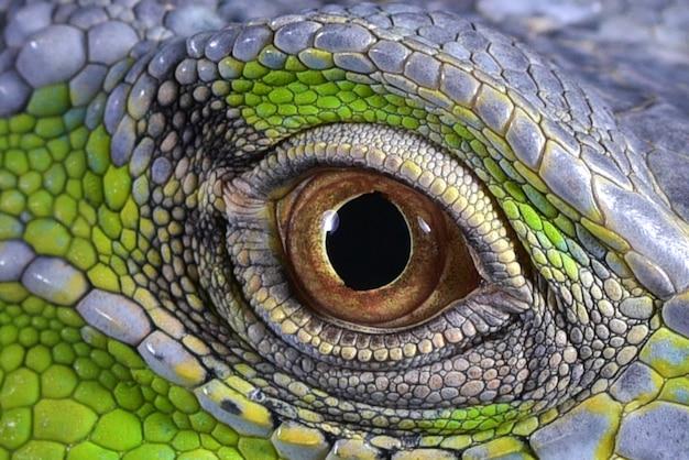 Primo piano foto di un occhi di iguane verdi