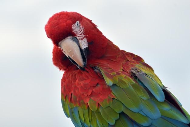 Primo piano foto di pappagalli ara
