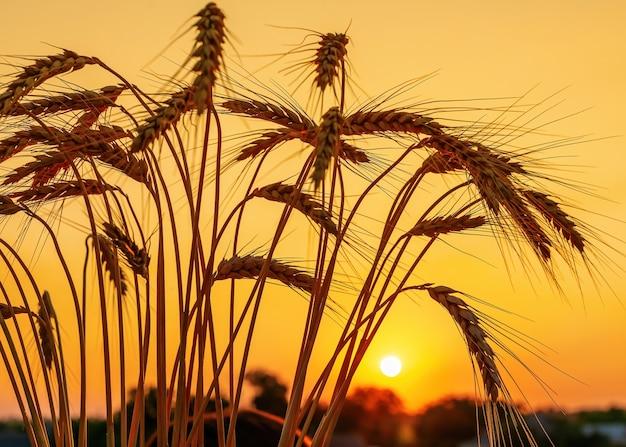 Foto del primo piano del campo di grano di maturazione al tramonto. spighette dorate di grano. silhouette.