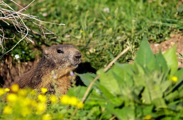 Foto ravvicinata di una marmotta selvatica
