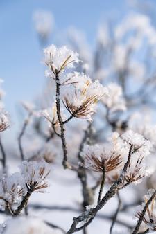 Primo piano di rami di pino ricoperti di brina, cristalli di brina e neve alla soleggiata giornata invernale nel cielo blu.