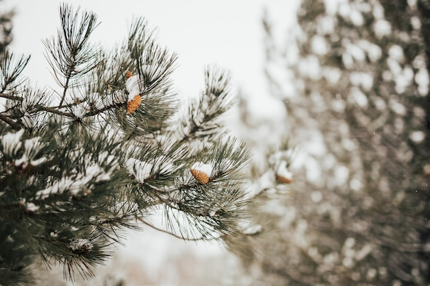 Primo piano di pigne e rami coperti di neve. bosco di conifere in inverno.