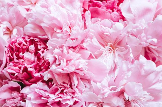 Primo piano di una bella peonia rosa